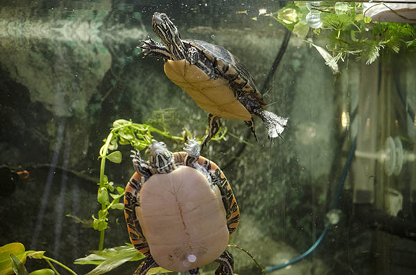 Two Southern painted turtles swimming in a turtle tank with plants in background