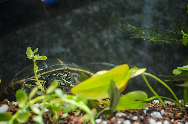 A turtle in a tank among some plants