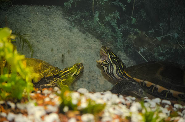 Two Southern painted turtles facing each other. The one on the right is yawning.