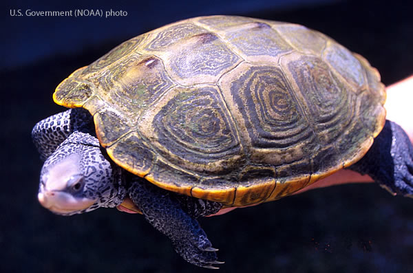 A Diamonback Terrapin turtle balancing on a NOAA employee's arm