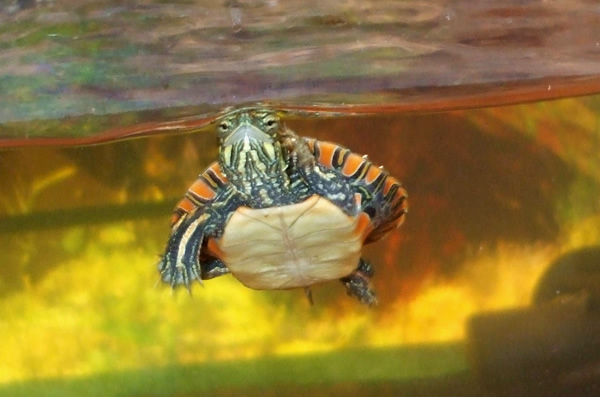 Young Southern Painted turtle swimming in a tank facing the camera