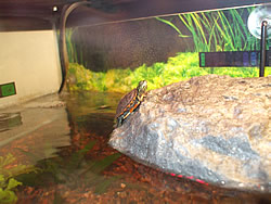Turtle on a basking platform in an indoor turtle tank