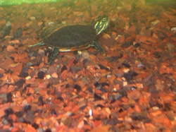 Turtle on bottom of tank with Fluorite substrate.