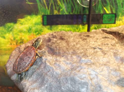 Turtle on a basking platform in a turtle tank, with thermometer in the background