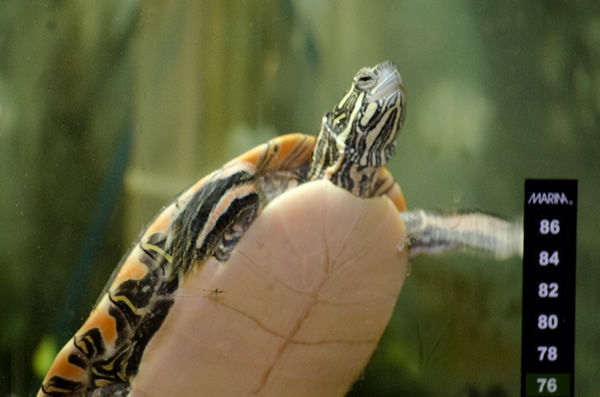 A turtle swimming in a tank, with the stick-on thermometer visible in the foreground