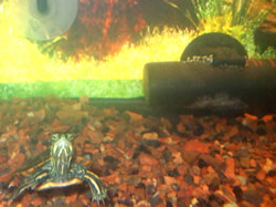 Turtle in a turtle tank, with the water heater in the background