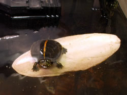 Baby turtle surfing on a cuttle bone