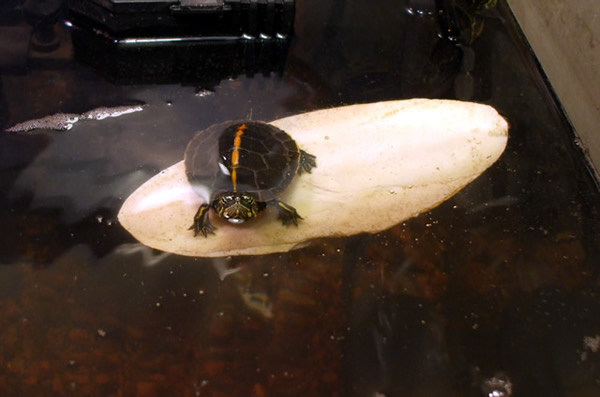 A hatchling turtle basking on a cuttle bone, making it look like she is surfing