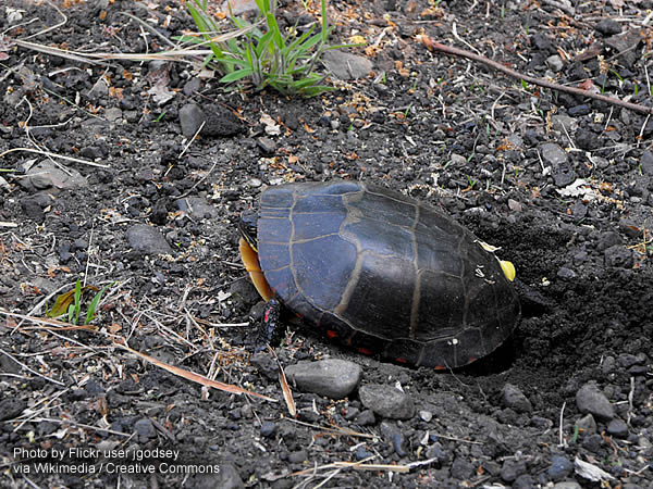 Painted turtle on the ground laying eggs into a hole that she dug with her hind feet