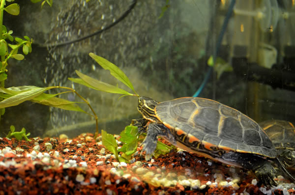 Turtle nibbling on a plant in a tank, showing the substrate