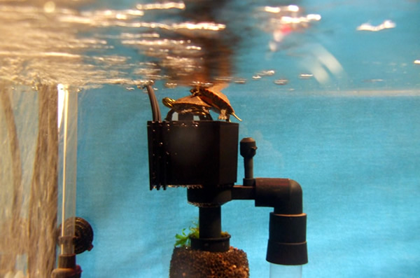 Maintaining water quality in your turtle 39 s habitat for Best way to clean a fish tank